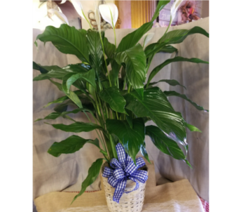 Medium Peace Lily in Zanesville OH, Miller's Flower Shop