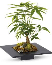 Cool Money Tree Reg 49.99 50%OFF in Round Rock TX, Heart & Home Flowers