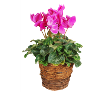 Cyclamen Plant in Madison WI, Felly's Flowers