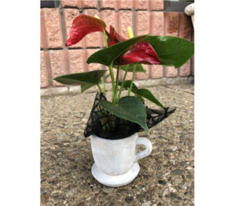 Anthurium Teacup in Guelph ON, Patti's Flower Boutique