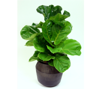 Fiddle Leaf Fig in Detroit and St. Clair Shores MI, Conner Park Florist