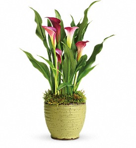 Teleflora's Spring Calla Lily Plant in Grand Rapids MI, Rose Bowl Floral & Gifts