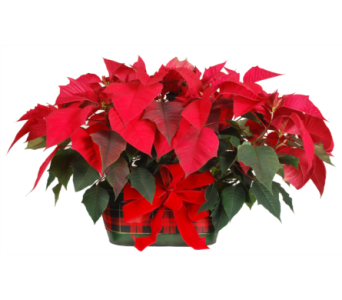 Plaid Pot With Two Single Poinsettias in Madison WI, Felly's Flowers