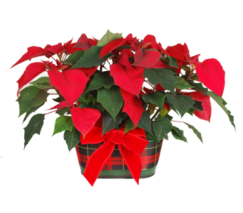 Two Mini Red Poinsettias in a Plaid Pot in Madison WI, Felly's Flowers