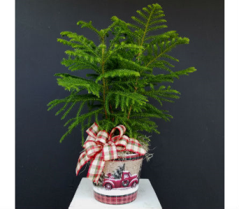 Norfolk Pine Plant in Nashville TN, The Bellevue Florist