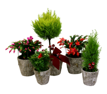 Christmas Plant Collection in Detroit and St. Clair Shores MI, Conner Park Florist