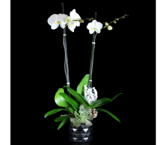 Winter White Phalaenopsis Orchid in Boston MA, Stapleton Floral