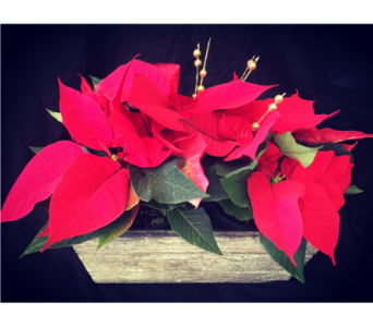 Natural Double Poinsetta in Needham MA, Needham Florist