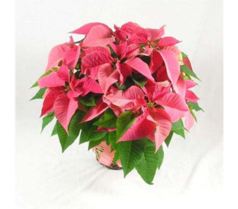 Pink Poinsettia Plant in Big Rapids, Cadillac, Reed City and Canadian Lakes MI, Patterson's Flowers, Inc.