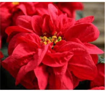 Winter Rose Poinsettia in Largo FL, Rose Garden Florist