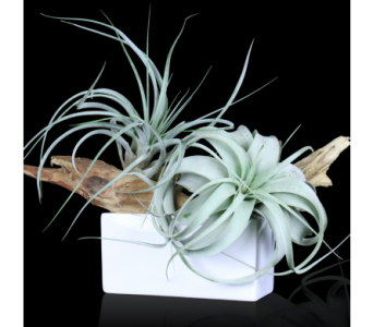 Driftwood Air Plant Garden in Boston MA, Stapleton Floral