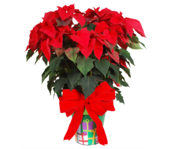 Poinsettia in a Christmas Pot in Madison WI, Felly's Flowers