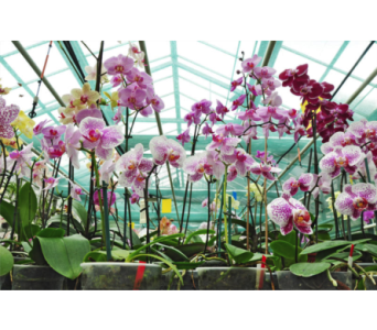 Orchids for a Year in Drexel Hill PA, Farrell's Florist