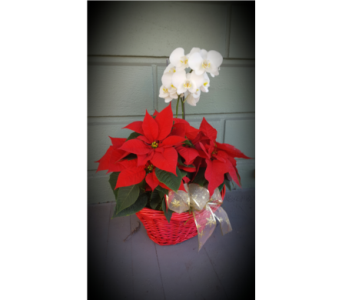 Orchid & Poinsettia Basket in Santa Cruz CA, Shay's Flowers