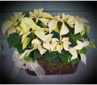 Positively Country Poinsettias in Santa Cruz CA, Shay's Flowers
