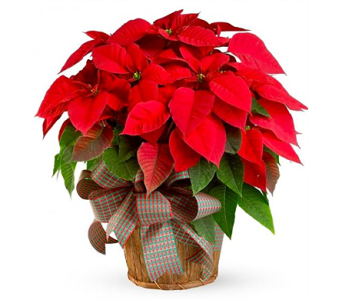Poinsettia in Largo FL, Rose Garden Florist