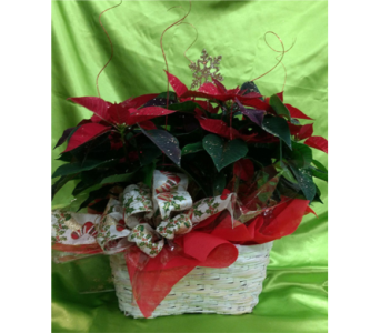 Poinsettia Planter in Agassiz BC, Holly Tree Florist & Gifts