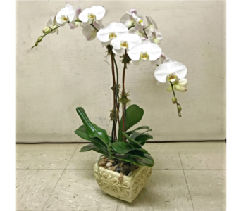 THREE WHITE ORCHID PLANTER in Arlington VA, Twin Towers Florist