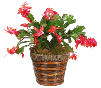 Christmas Cactus in Madison WI, Felly's Flowers
