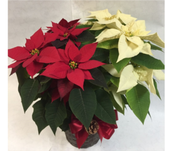 POINSETTIA: Red & White in Philadelphia PA, Schmidt's Florist & Greenhouses
