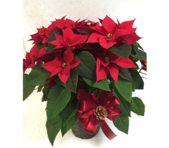 POINSETTIA: Red in Philadelphia PA, Schmidt's Florist & Greenhouses