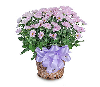 Lavender Chrysanthemum Basket in Oshkosh WI, Flowers & Leaves LLC