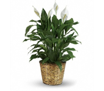 Pretty Peace Lily - Large in Warrenton VA, Designs By Teresa
