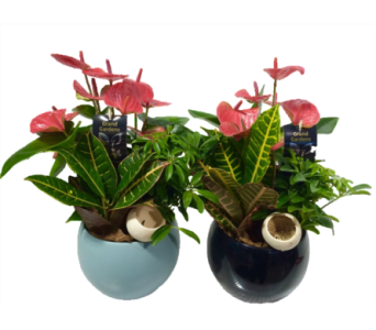 Round Anthurium Planter in Chatham ON, Pizazz!  Florals & Balloons
