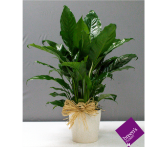 Classic Peace Lily (Ceramic) in Houston TX, Breen's Clear Lake Flowers