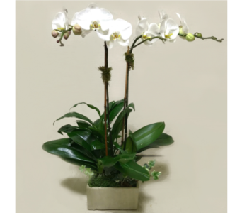 PREMIUM SERENITY GARDEN WITH 2 ORCHIDS in Arlington VA, Twin Towers Florist