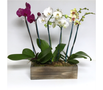 Three Orchid Plants in Vintage Box in Wyoming MI, Wyoming Stuyvesant Floral