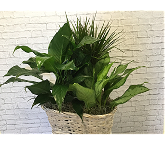 Triple Plant Basket in Raleigh NC, North Raleigh Florist