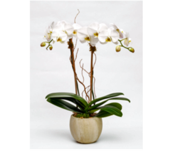 White Phalaenopsis Orchid in Westerly RI, Rosanna's Flowers