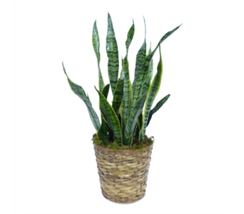 Snake Plant in Silver Spring MD, Bell Flowers, Inc