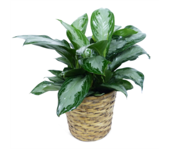 Aglaonema Silver Bay in Silver Spring MD, Bell Flowers, Inc