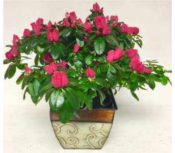 Azalea in Metal Planter-Bloom stage may vary in Wyoming MI, Wyoming Stuyvesant Floral