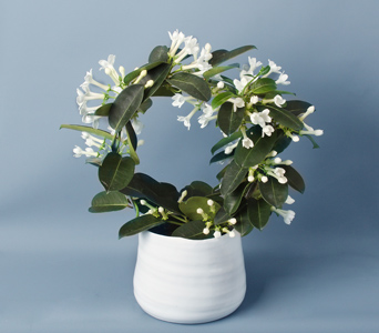Stephanotis Ring in Darien CT, Nielsen's Florist And Garden Shop