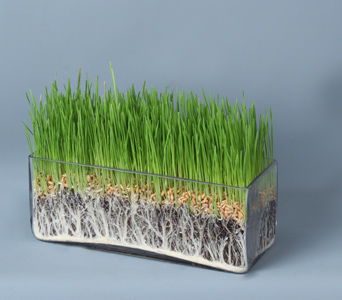 Wheatgrass in long glass in Darien CT, Nielsen's Florist And Garden Shop