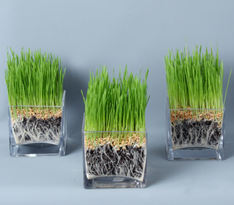 Trio of Wheatgrass  in Darien CT, Nielsen's Florist And Garden Shop