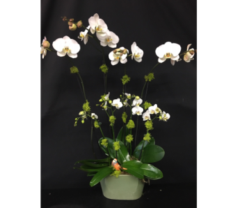 white Phalaenopsis orchids in Oakland CA, J. Miller Flowers and Gifts