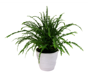 Button Fern in Detroit and St. Clair Shores MI, Conner Park Florist