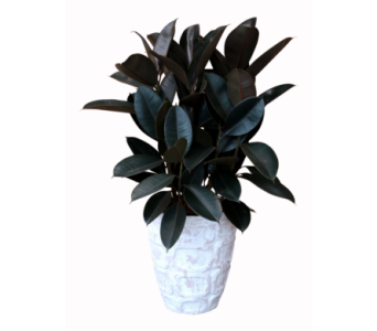 Rubber Tree in Detroit and St. Clair Shores MI, Conner Park Florist