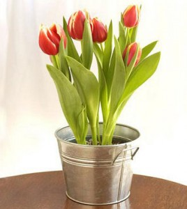 Potted Tulips in Nashville TN, Emma's Flowers & Gifts, Inc.