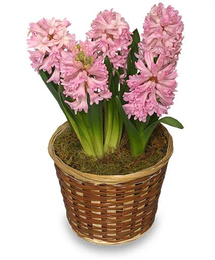 Potted Hyacinth in Nashville TN, Emma's Flowers & Gifts, Inc.