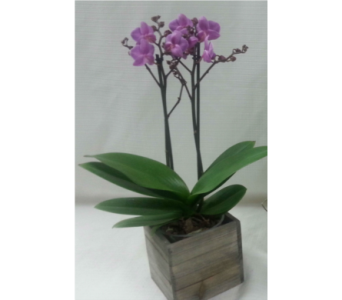 Barber's Phalaenopsis in Belleville ON, Barber's Flowers Ltd