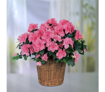 Azalea Plant in Indianapolis IN, George Thomas Florist