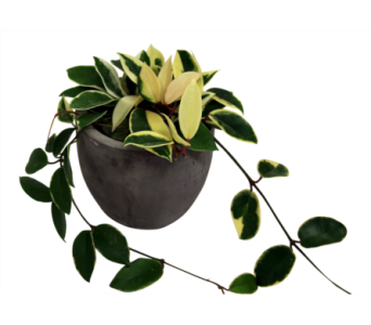 Hoya Plant in Detroit and St. Clair Shores MI, Conner Park Florist