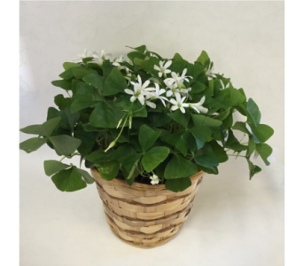 Shamrock Basket in Philadelphia PA, Schmidt's Florist & Greenhouses