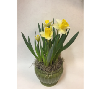 Daffodil- Green Ceramic Planter in Philadelphia PA, Schmidt's Florist & Greenhouses