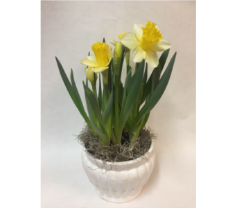 Daffodil- White Ceramic Planter in Philadelphia PA, Schmidt's Florist & Greenhouses
